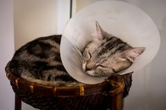 American shorthair Cat is sick. American shorthair Cat with veterinary cone on its head, after surgery royalty free stock images