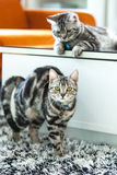 American Shorthair Cat. What a lovely couple of  Amercian Shorthair cats Stock Images