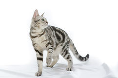 American Shorthair cat on white Royalty Free Stock Photography