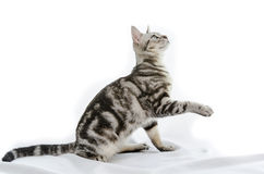 American Shorthair cat on white Stock Images