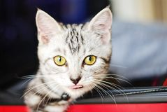American shorthair cute little kitten stock images