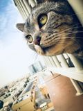 American Shorthair Domestic Cat During Birds Hunt. American shorthair cat hunting birds at the balcony during early morning, Dubai royalty free stock images