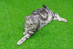 American shorthair. On green artificial grass royalty free stock photos