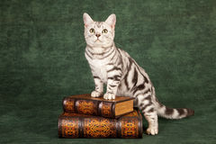 American Shorthair kitten. Cute American shorthair kitten standing on leather bound books, green background stock photography