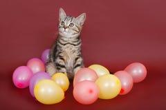 American Shorthair kitten with balloons Stock Photo