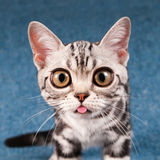 American shorthair kitten portrait Royalty Free Stock Images