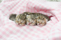 American shorthair kitten sleeping on pink table cloath Royalty Free Stock Photos