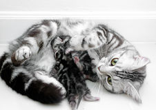 American shorthair mother and kitten Stock Photos