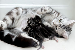 American shorthair mother and kitten Stock Photo