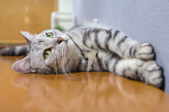 American shorthair. Rolled around on the table /  sleep on table royalty free stock images