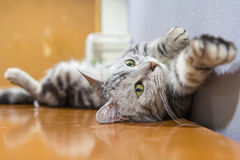 American shorthair. Rolled around on the table /  sleep on table stock image
