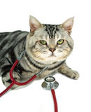 American shorthair with a stethoscope on his neck Stock Images