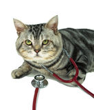 American shorthair with a stethoscope on his neck Royalty Free Stock Images