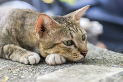 American Shorthair. Tired in the park royalty free stock photo