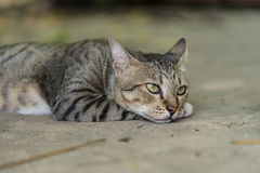 American Shorthair. Tired in the park royalty free stock images