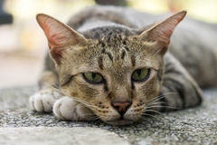 American Shorthair. Tired in the park royalty free stock photos