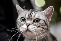 American Shorthair (Working) cat Stock Photography