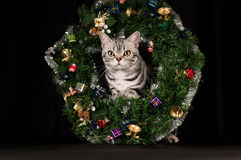 American shorthaired cat in Christmas decoration Royalty Free Stock Photography