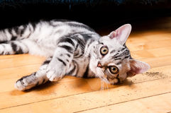 American shorthaired cat Stock Photos