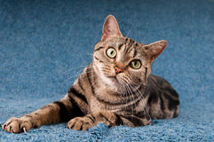 American shorthaired cat Royalty Free Stock Photography