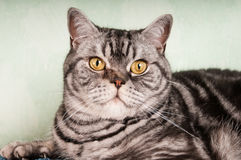 American shorthaired cat Stock Images