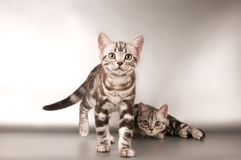 American shorthaired kitten on silver background Royalty Free Stock Images