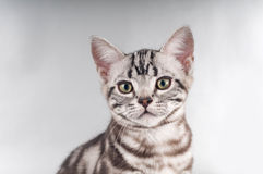 American shorthaired kittens on silver background Royalty Free Stock Photos