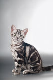 American shorthaired kittens on silver background Stock Photo