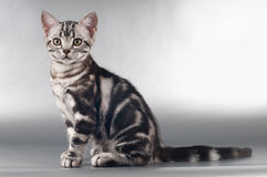 American shorthaired kittens on silver background Stock Image