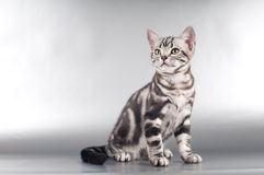 American shorthaired kittens on silver background Royalty Free Stock Images
