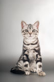 American shorthaired kittens on silver background Stock Photos