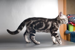 American shorthaired kittens on silver background Stock Photography