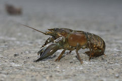 American Signal Crayfish Stock Photos
