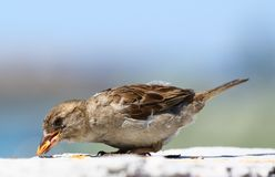 American Sparrow eating a seed Royalty Free Stock Photo