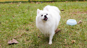 American Spitz. The American Eskimo Dog is a breed of companion dog originating in Germany. The American Eskimo is a member of the Spitz family royalty free stock photo