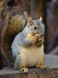 American squirrel Royalty Free Stock Photos