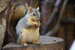 American squirrel Stock Photos