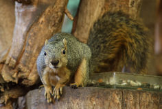 American Squirrel Royalty Free Stock Photo