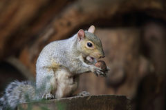 American Squirrel Stock Photography
