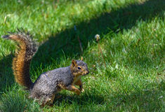 American squirrel in jump. Green grass background Stock Photos