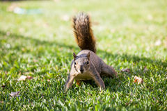 American Squirrel in a Park Royalty Free Stock Photography
