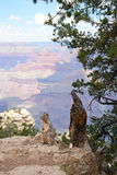 American squirrel  sitting on the rock under the tree. American squirrel  resting on the rock under the tree. Canyon in the background. Grand Canyon National Stock Photo