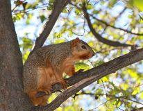 American Squirrel standing on The Tree Branch. In Indiana stock photography