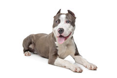 American Stafford with cropped ears Stock Photography