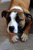 American stafford dog Stock Image