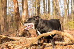 American stafford in a forest. Black american stafford shire posing in a autumn colored forest Royalty Free Stock Photos
