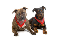 American stafford and a Rotweiller puppy Royalty Free Stock Images