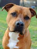 American Staffordshire bull terrier  Stock Photos