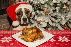 A cute dog begging for the holiday dinner. An American Staffordshire Bull Terrier begging for dinner during the holidays Royalty Free Stock Photography