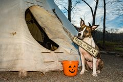 A cute dog Trick or Treating on Halloween. An American Staffordshire Bull Terrier Trick or Treating at a Teepee on Halloween royalty free stock image